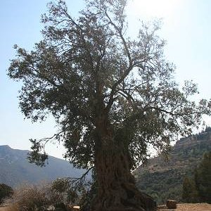 29.8.2007  15:13, autor: Teoretik / Starý olivovník