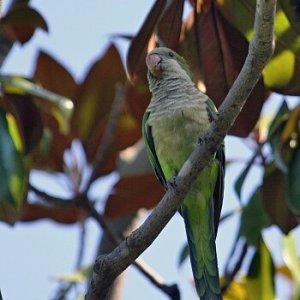 20.8.2011 16:15 / V Barcelone boli papagáje celkom hojné