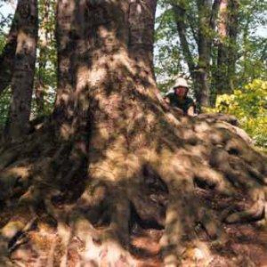 Mýtus koreňov stromu